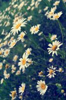 Daisy Field by creeperdude