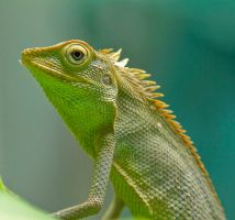 Green Crested Lizard by bleu3t