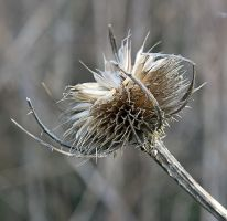 Teasel 2657 by filmwaster