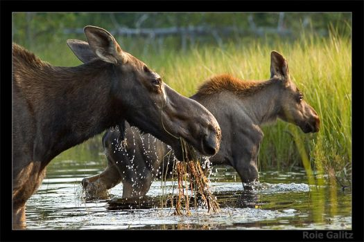Mommy and baby Moose by RoieG