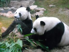 Giant Pandas by kougragrowl611