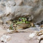 Amphibians. Frog I by geostant