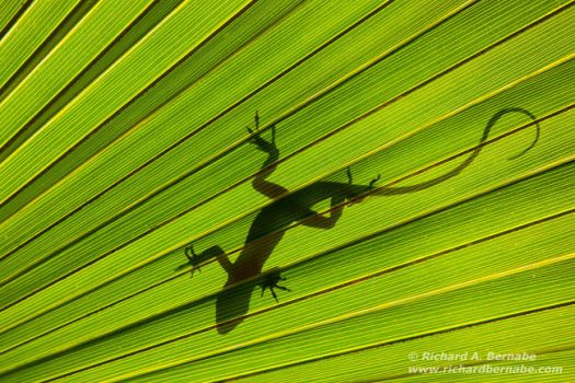Green Anole and Palmetto by RichardBernabe