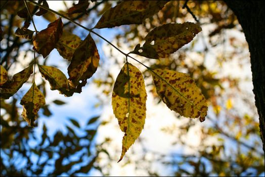 Leaves in the sky - Oct 2009 by pearwood