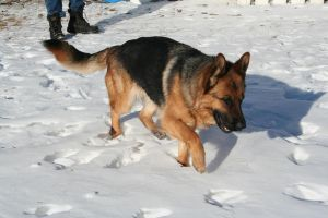 German Shepherd Stock 008 by EssenceOfPerception