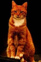 Ginger cat by jeroenpaint