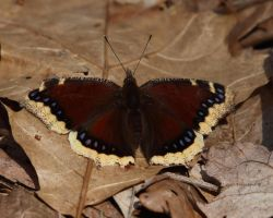 Mourning Cloak Butterfly by natureguy