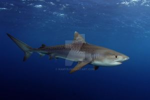 Shark Species ID: Tiger Shark by Namyr