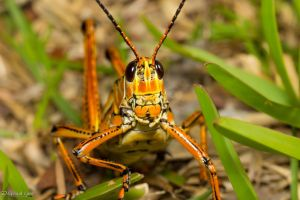 Eastern lubber grasshopper head on by LordMajestros