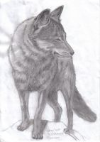 Grey Wolf by OnslaughtHW