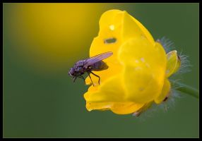 Buttercup Fly by Wivelrod