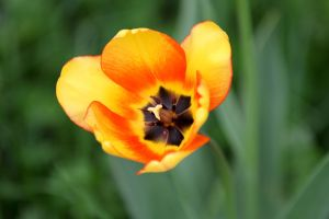 Tulip by BIREL