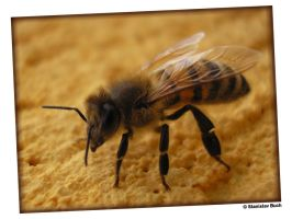 bee by sstando