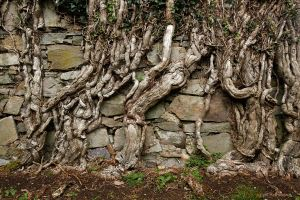 century old ivy roots by Cyril-Helnwein