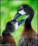 Mutual Preening by andy-j-s