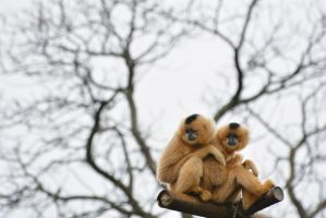 Gibbon Friends by KrisVlad