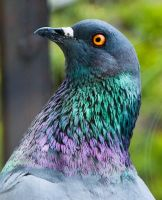 Pigeon by beneficia