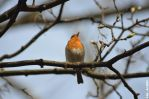 European robin 2 by reiner67