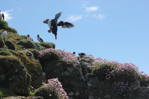 Puffins of Lunga1 by Yoonett
