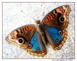 Blue and Orange Butterfly by Nyarlotep