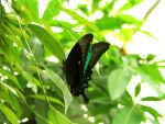 butterfly 36 by Pagan-Stock