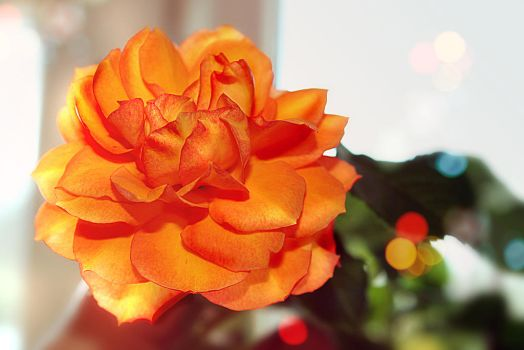 orange rose by Luba-Lubov-13