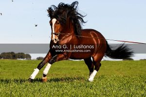 Lusitano by madboy