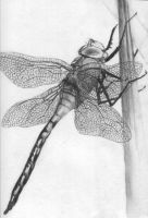 Dragonfly by gabor5555