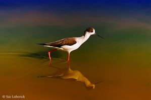 Black-winged Stilt by Yair-Leibovich