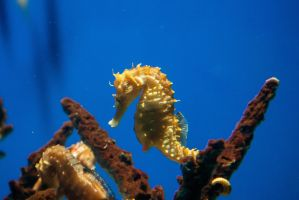 Lined Seahorse by trinity343