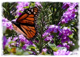 Monarch Butterfly 3 by DleeKirby