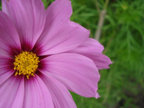 Cosmos by themcman1