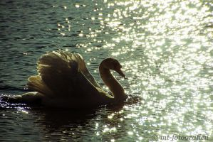 swan romance 6 by MT-Photografien