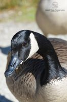 Canada Goose Close-up by sweetcivic