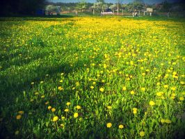 Field of dandelions by lanamechanic