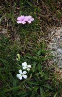 Dianthus microlepis in two colors by lapis-lazuri