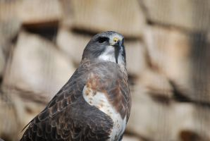 Swainson's Hawk by ManitouWolf