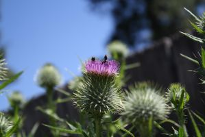 on the Thistle by KarmicCircle
