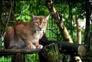 Pleased European Lynx by OrangeRoom