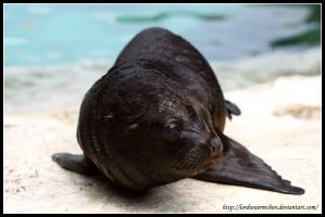 Baby sea lion I by AF--Photography