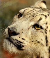Snow Leopard Cub: Close-Up by NaturePunk