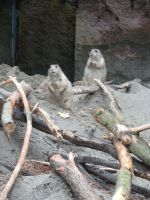 Marmot by Horselover60-Stock
