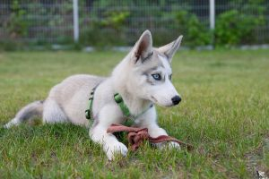 Anny the Husky Puppy by Tribolonotus