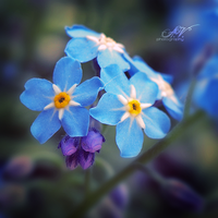 Forget me not by FeelinThis