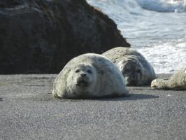 Seals on the shore by Samela7