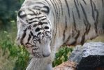 White tiger 3 by Mariestel