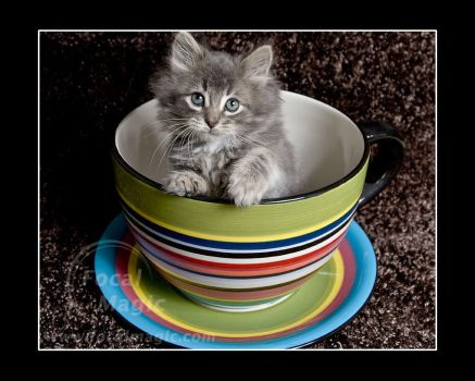 Kitty in a TeaCup 3 by NicoleSlaughter
