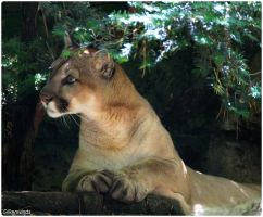 Cougar Photo Shoot 14 by SilkenWinds