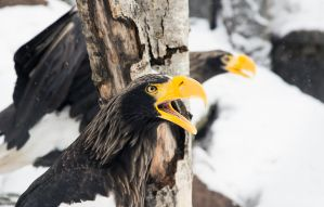Steller's Sea Eagles I by OrangeRoom