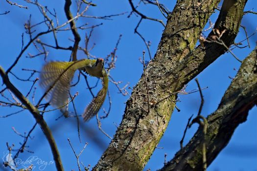 The European green woodpecker (Picus viridis) by PhotoDragonBird